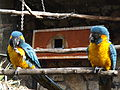 Blue-throated Macaws 02.jpg