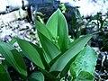 Blue bead lily (SC woodlot) 3.JPG