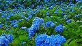 Blue hydrangea blossom in Unsho-ji, Oga, Japan 20180630f.jpg