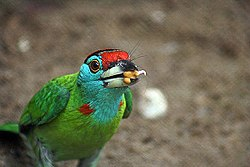 Blue throated Barbet I2 IMG 4944.jpg