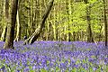 Bluebells - Box Wood Stevenage (26213532180).jpg
