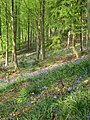 Bluebells in Kings Wood Warren - geograph.org.uk - 417759.jpg