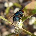 Bluebottle. Diptera - Flickr - gailhampshire.jpg