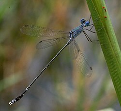 Bluereedtail damselfly sal.jpg