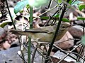 Blyth's Reed Warbler Acrocephalus dumetorum by Dr Raju Kasambe DSCN3298 (15).jpg