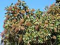 Bocconia frutescens, vrugstadiumbloeiwyses, Manie vd Schijff BT.jpg