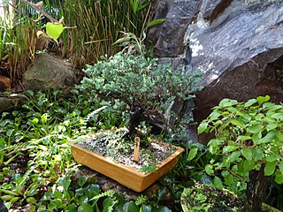 "Bonsai (盆栽, ""tray gardening"", in Japanese) pic. a1bb.jpg"