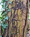 Boot lace rhizomorphs of the Honey Fungus. Armillaria mellea. Lainsahw Woods, East Ayrshire.jpg