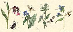 definition of boraginaceae