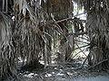 Borassus aethiopum 0070.jpg