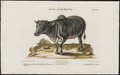 Bos indicus - 1700-1880 - Print - Iconographia Zoologica - Special Collections University of Amsterdam - UBA01 IZ21200143.tif
