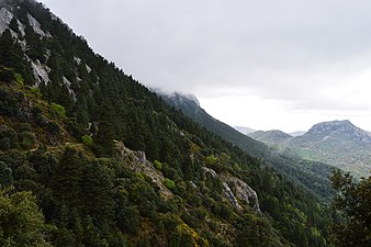 Bosque de Abies pinsapo - Parque Natural de la Sierra de Grazalema.jpg
