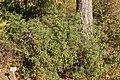 Botanischer Garten Berlin-Dahlem 10-2014 photo15 Daphne altaica.jpg