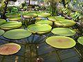 Botanischer Garten Berlin Viktoria-Seerosen 2.jpg