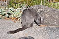 Botanischer Garten der Universität Zürich - Felis silvestris catus 2011-10-24 14-41-54.JPG