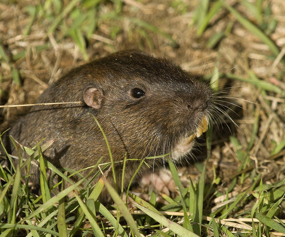 The average litter size of a Botta's pocket gopher is 4