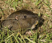 Botta's Pocket Gopher (Thomomys bottae).jpg