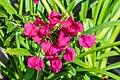 Bougainvillea glabra in Botanischer Garten Muenster (2).jpg