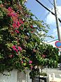 Bougainvillea glabra near MaxValue Wakasa Shopping Mall.jpg