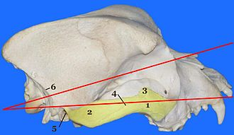 Cephalic index - Craniofacial angle of a Boxer