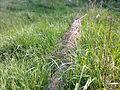 Branche de saule dans un champ à Grez-Doiceau 001.jpg