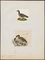 Branta canadensis - 1700-1880 - Print - Iconographia Zoologica - Special Collections University of Amsterdam - UBA01 IZ17600169.tif