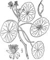 Brasenia schreberi drawing.png