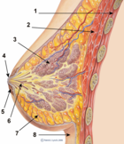 Breast schematic diagram (adult female human cross section) - Legend: 1. Chest wall 2. Pectoralis muscles 3. Lobules 4. Nipple 5. Areola 6. Duct 7. Fatty tissue 8. Skin