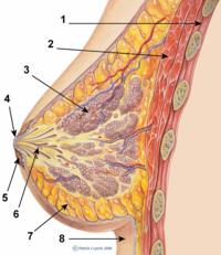 Testicle  Wikipedia