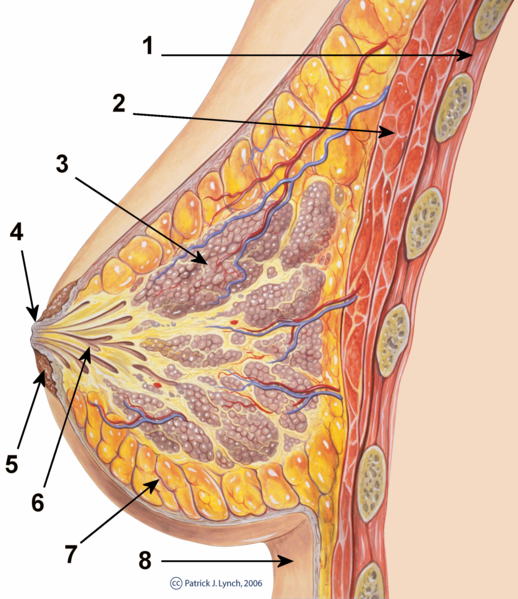 Файл:Breast anatomy normal scheme.png