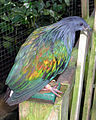 Bristol.zoo.nicobar.pigeon.arp.jpg