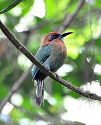 Broad-billed Motmot (7047645797).jpg