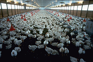 Animal husbandry - Raising chickens intensively for meat in a broiler house, USA