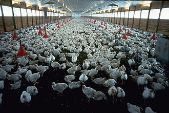 Animal husbandry - Raising chickens intensively for meat in a broiler house, US