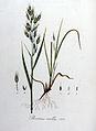 Bromus mollis — Flora Batava — Volume v8.jpg