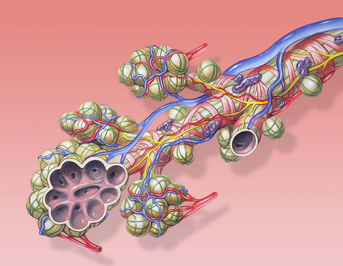 Lungenbläschen – Wikipedia