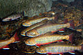 Brook trout in cool water (7725114898).jpg