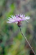 Brown Knapweed (Centaurea jacea), strange coloured phyllaries - violet coloured involuctral bracts.jpg