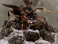 Brown Paper Wasp-27527-6.jpg