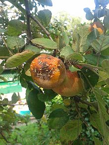 Brown Rot on Apple.jpg