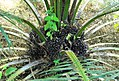 Buah kelapa sawit (2).JPG