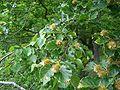 Buche-fruchtansatz.jpg