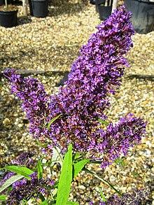 butterfly bush wiktionary
