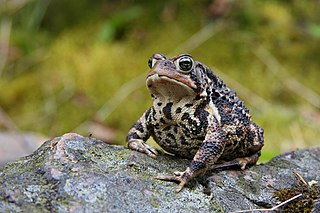American toad species of amphibian