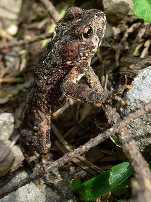 Western toad - Oval parotoid glands, located behind the eyes, are distinguishing features of this species.