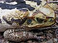Bufo marinus - Flickr - Alex Popovkin, Bahia, Brazil (9).jpg