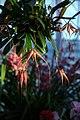 Bulbophyllum Elizabeth Ann Buckleberry - Internationale Orchideen- und Tillandsienschau Blumengärten Hirschstetten 2016 b.jpg