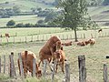 Bull and cows in Amurrio 2018 06.jpg