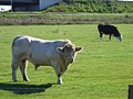 Bull near the new Sheppey bridge - geograph.org.uk - 256813.jpg