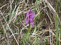 Burren Flora 26 Early Purple Orchid (3586381260).jpg